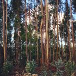 eucalyptus portugal