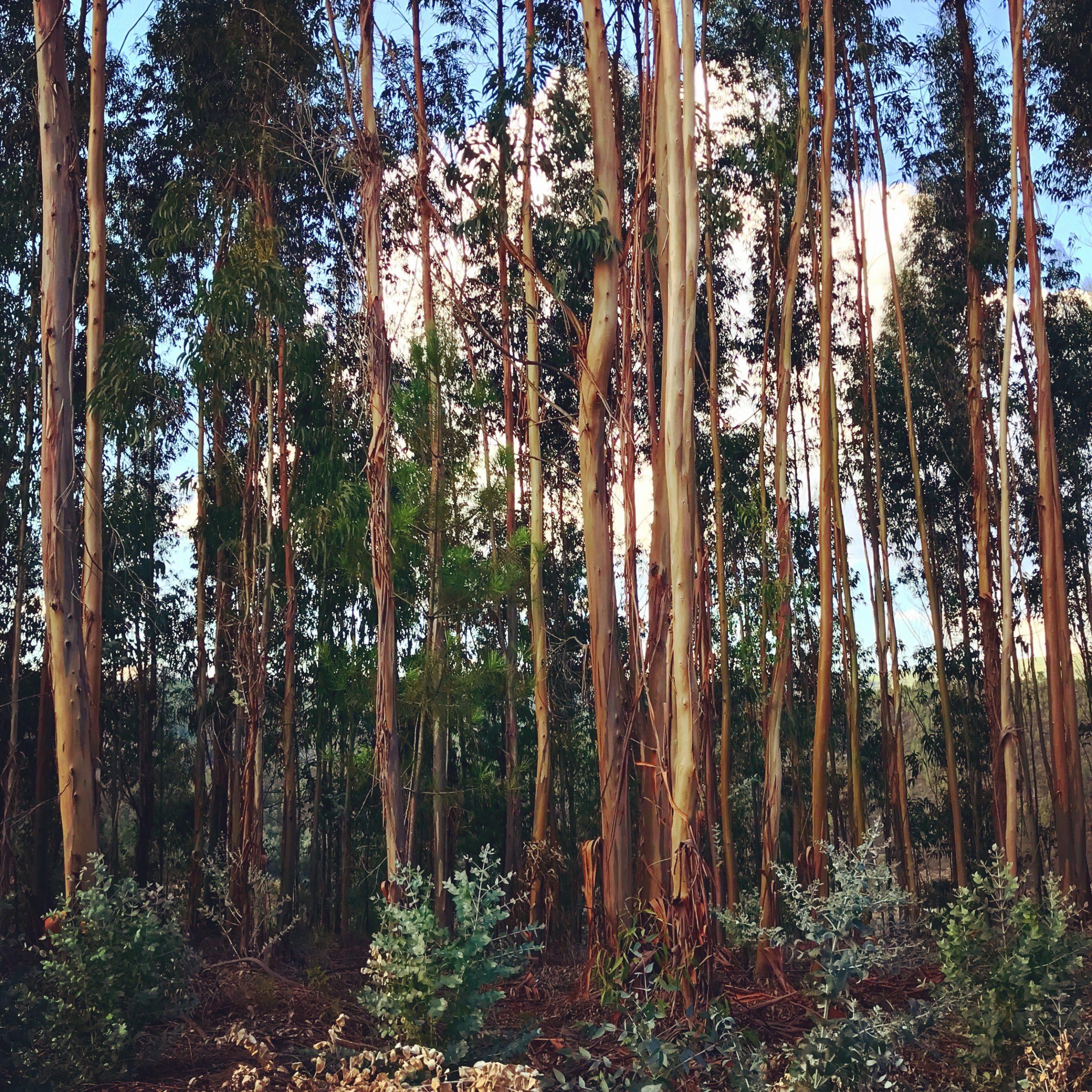 déforestation changement climatique eucalyptus