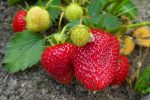 fraises de saison