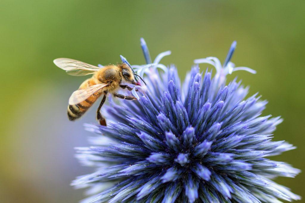 abeille apiculture